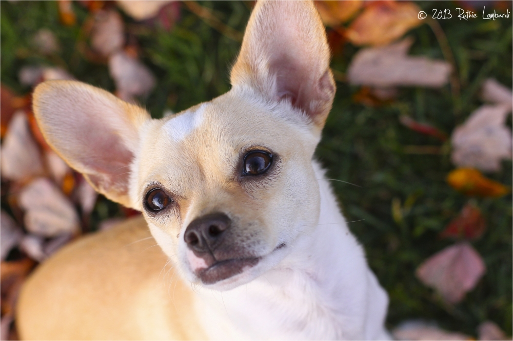 white chihuahua close up
