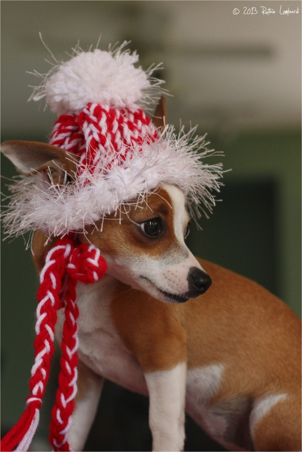 chihuahua in candy cane hat
