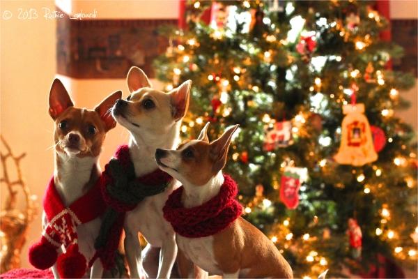 chihuahuas and christmas