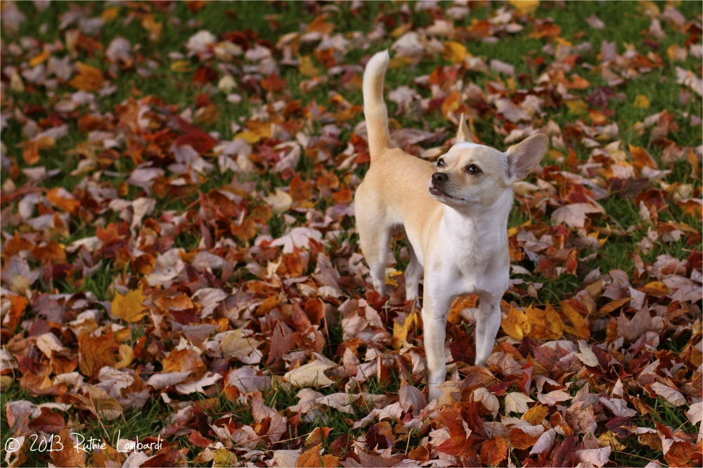 White chihuahua in fall leaves