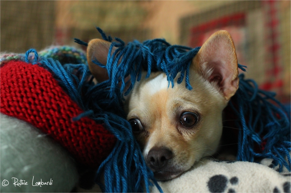 white chihuahua with blanket