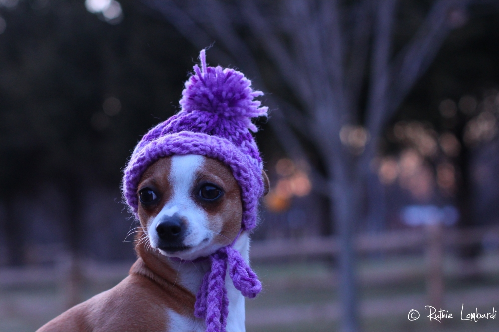 little chihuahua with knitted hat