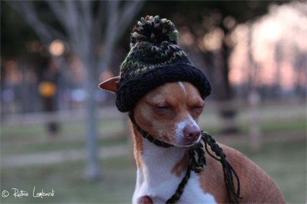 chihuahua wearing camo knit hat