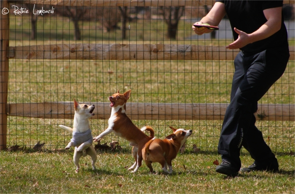 chihuahuas playing outside