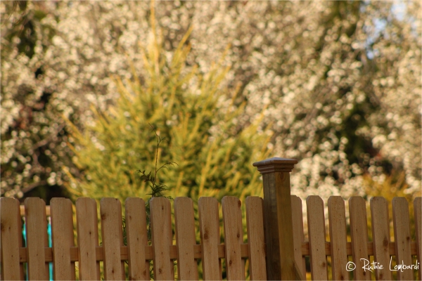 blossoms beyond the fence