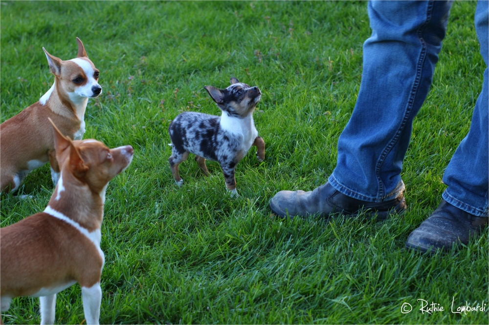 chihuahuas waiting for treats