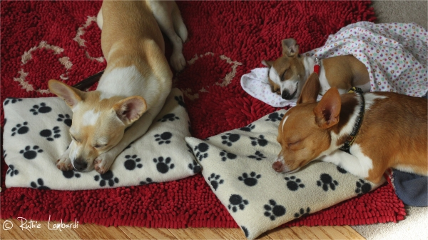 three sleeping chihuahua