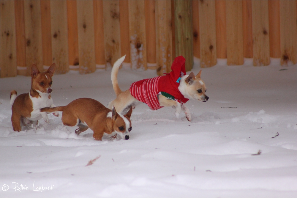 chihuahuas in the snow