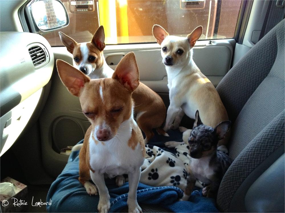 chihuahuas in car