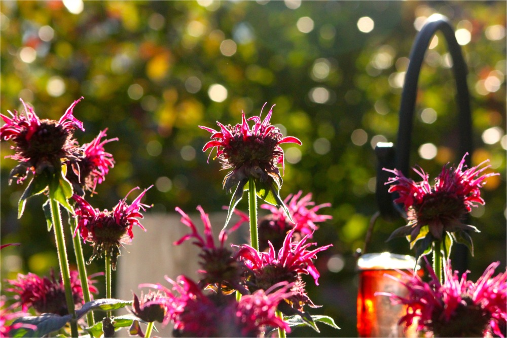 bee balm in the summer