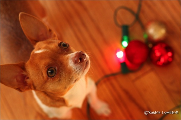 chihuahua christmas lights balls