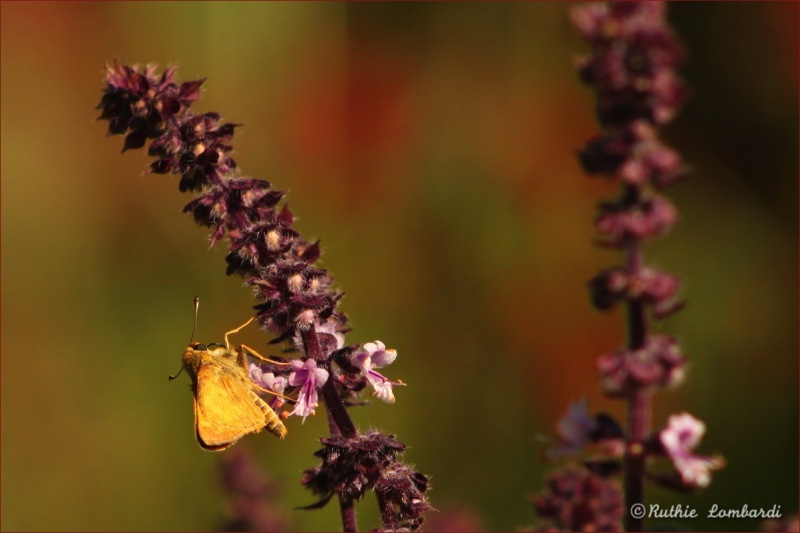 butterfly and basil