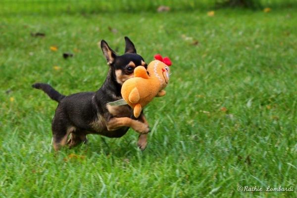 Chihuahua running with stuffed animal