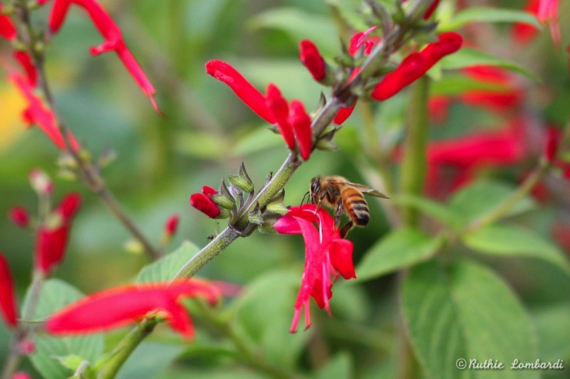 bumble bee and pineapple sage