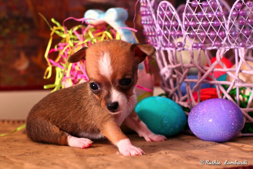 chihuahua puppy at Easter
