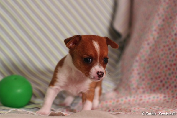 male puppy chihuahua