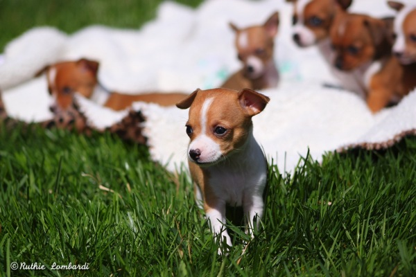 chihuahua puppies outside