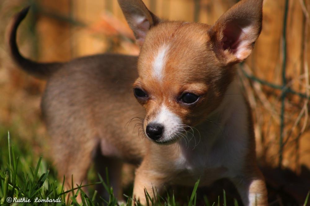 teeny tiny chihuahua