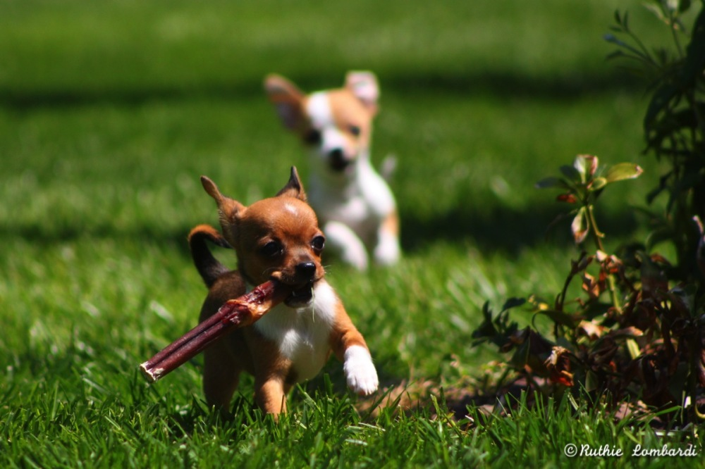playing puppy chihuahuas