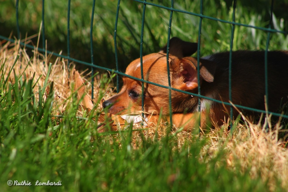 chocolate chihuahua at fence