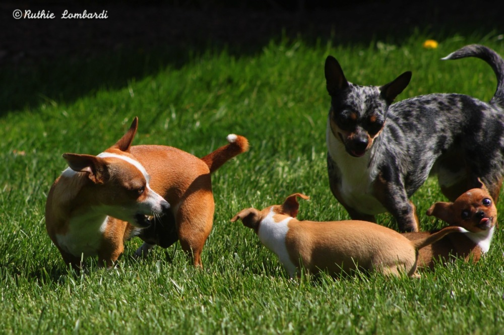 chihuahua puppy play