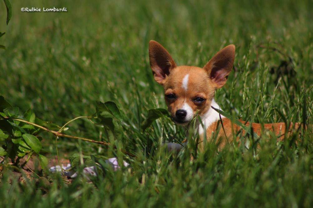 chihuahua puppy attitude