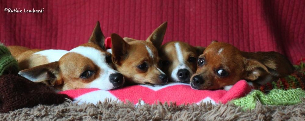 chihuahua mom and pups