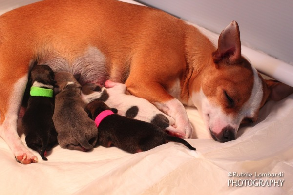 chihuahua puppies and mother