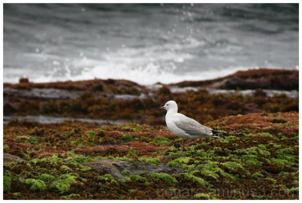 Seagull by mossy rocky beach