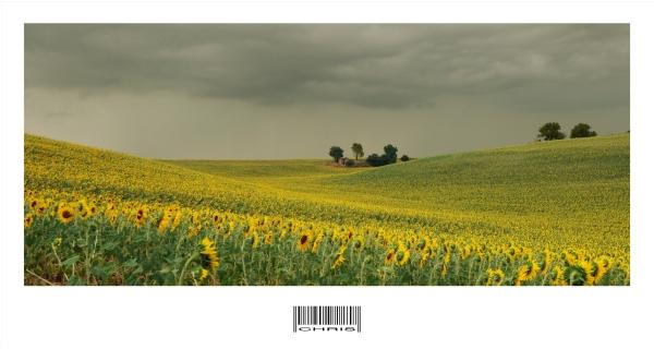 - Sunflower vs Storm -