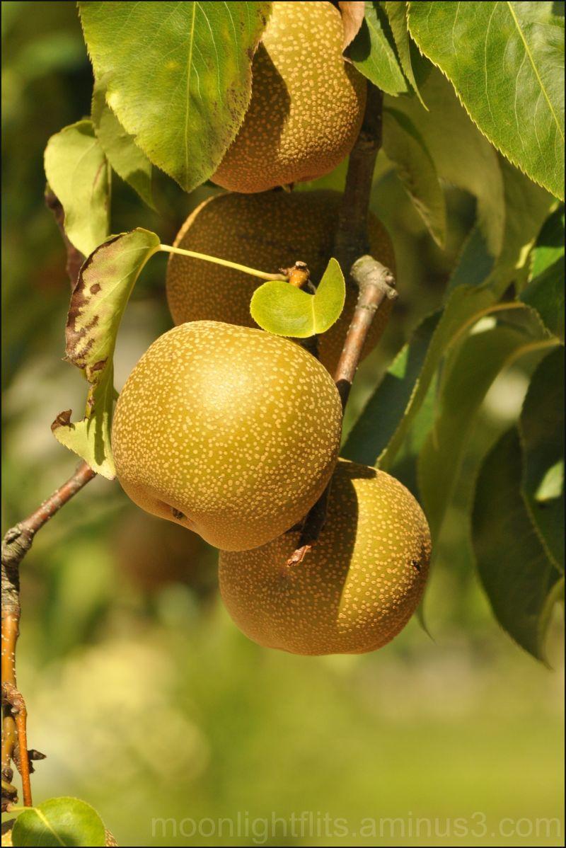My fairytale golden apple