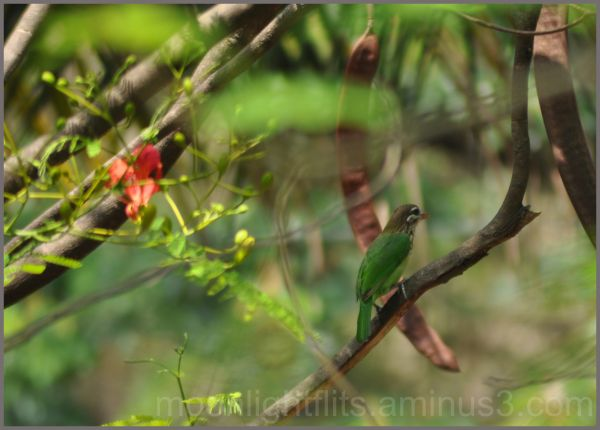 The green barbet