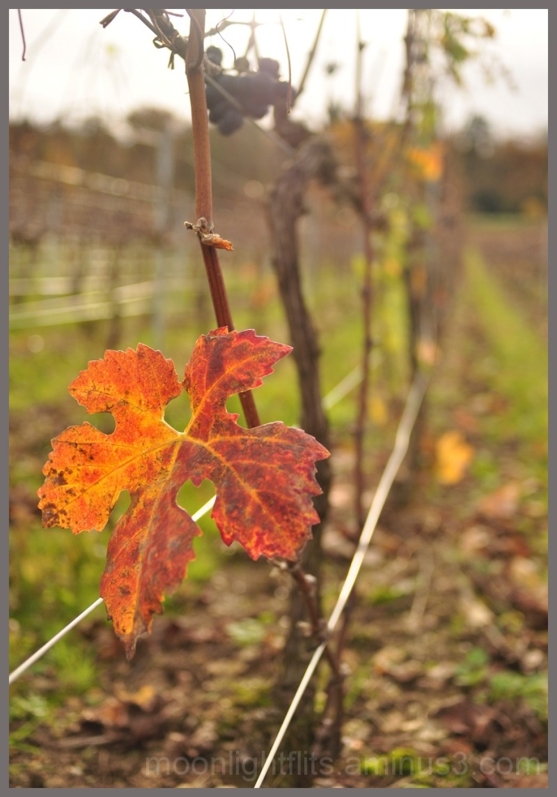 Autumn vines - 1