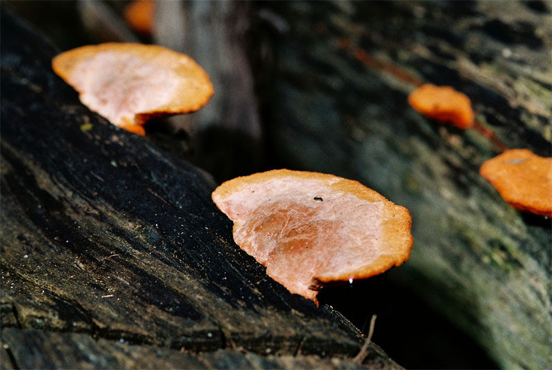 fungus melbourne nikon 105mm f2.8D SB-17