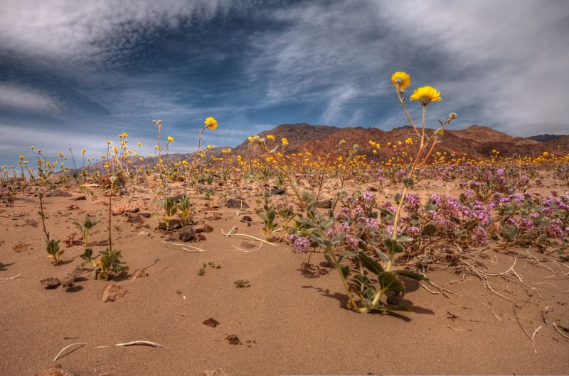 Flowers in Death Valley near Ashford Mill/2010