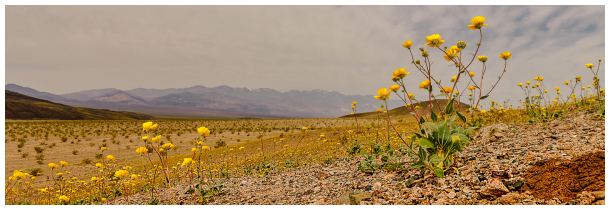 Death Valley flowers boom, Nevada, USA