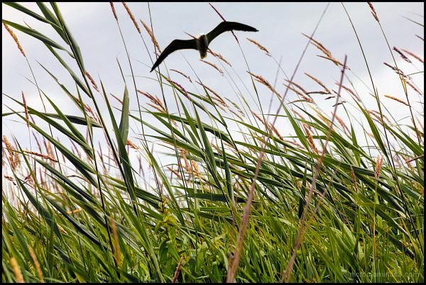 Rapace dans les marais