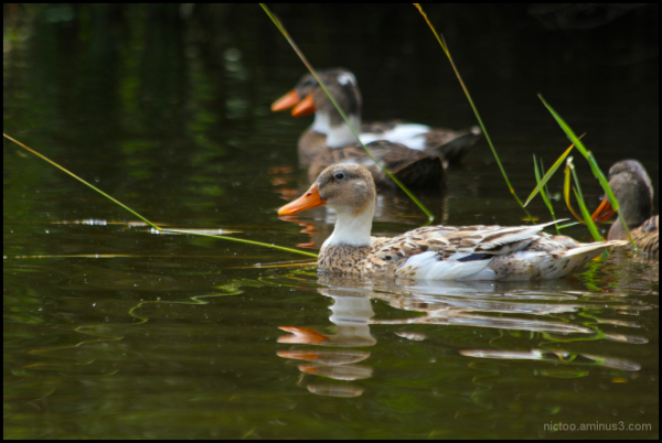 Canards dans les marais
