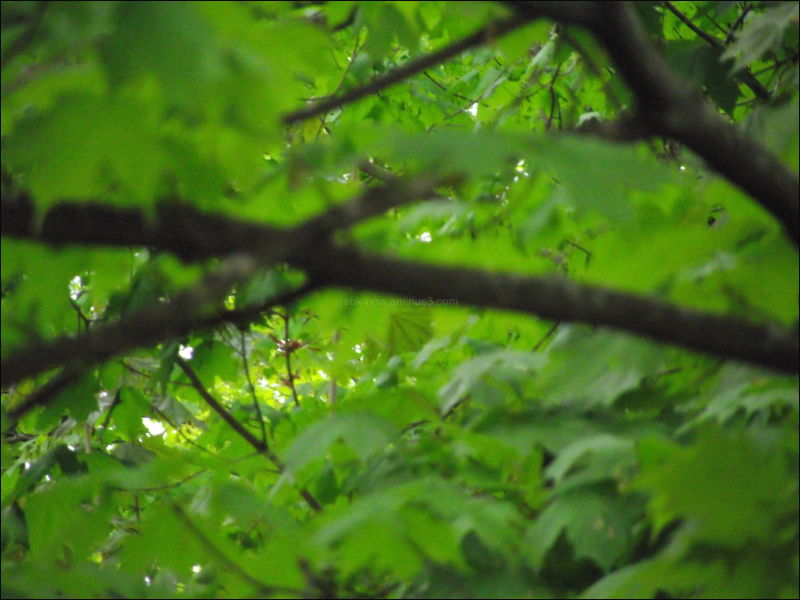 maple leaves vermont