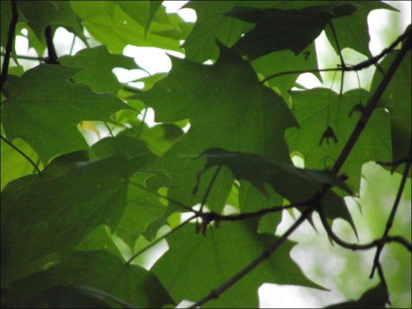 sugar maple tree vermont may 2011