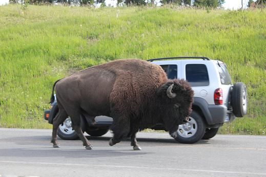 Yellowstone - Bisen