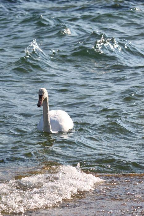 lac annecy cygne lake swan