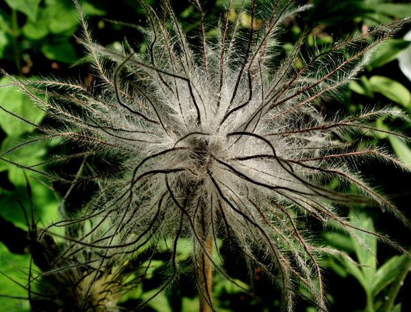 The seed head of a Pulsatilla