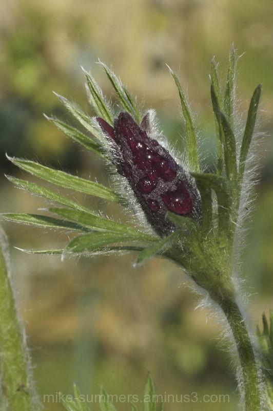 Pulsatilla flower after rain
