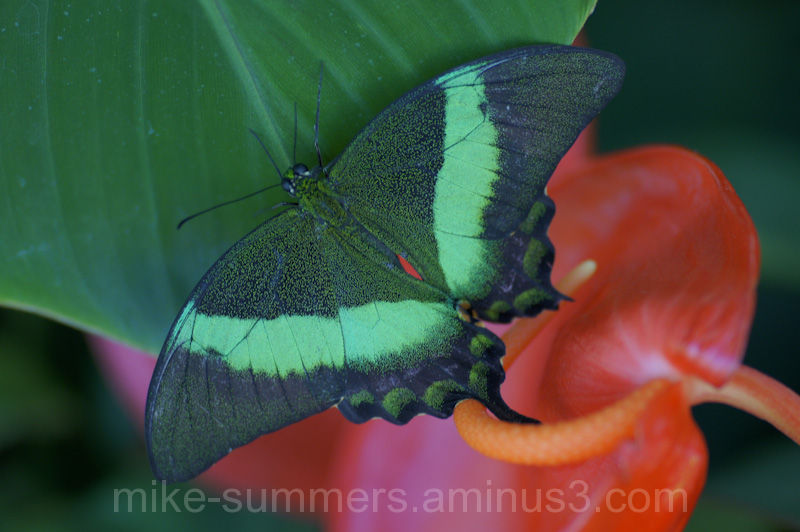 Green butterfly camoflage