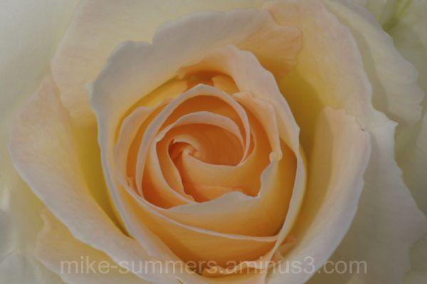 A rose, in soft peach, macro