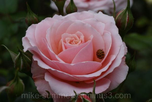 Pink Rose with Ladybird beetle