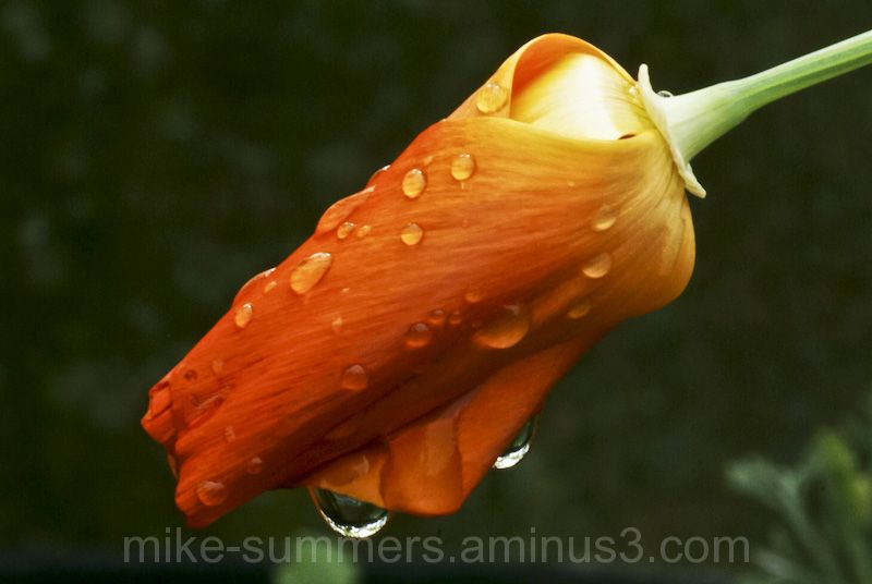 Californian Poppy Orange raindrops