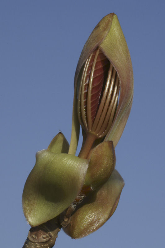 Indian chestnut bud opening