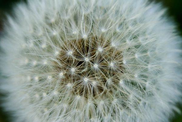 Dandylion seed head macro